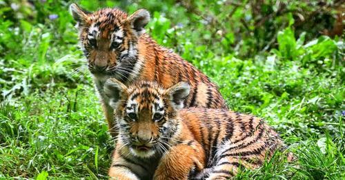 5 Monate nach GeburtZoo-Besucher stimmten ab: Baby-Tiger aus Duisburg haben endlich einen Namen