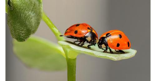 Marienkäfer im Winter: Das passiert mit den Insekten