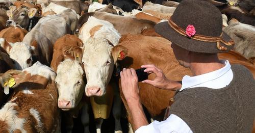 Ließ 171 Rinder qualvoll sterben: Landwirt wegen Tierquälerei angeklagt